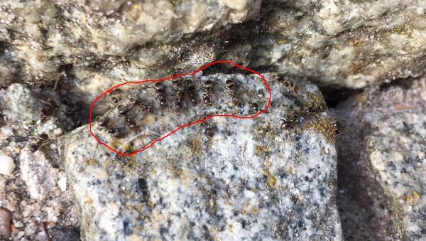 Ameisenködergel Ameisen aus dem Garten loswerden