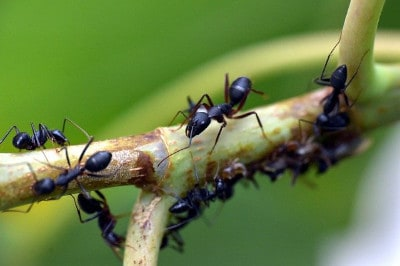 Ameisen im Garten loswerden
